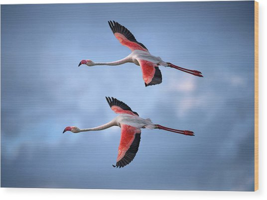 Greater Flamingos Wood Print by Xavier Ortega
