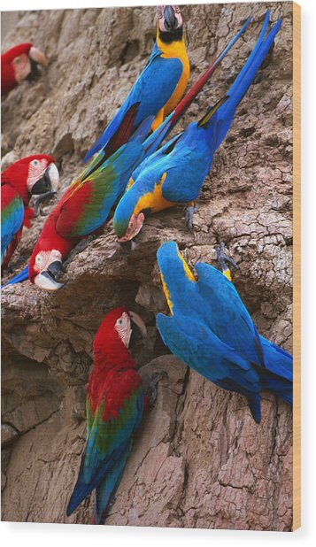 Green And Red And Blue And Gold Macaws Wood Print by Alfredo  Maiquez
