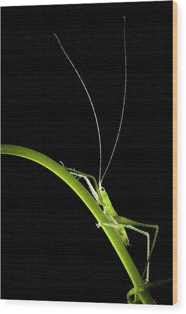 Green Bush Cricket Wood Print by Alex Hyde