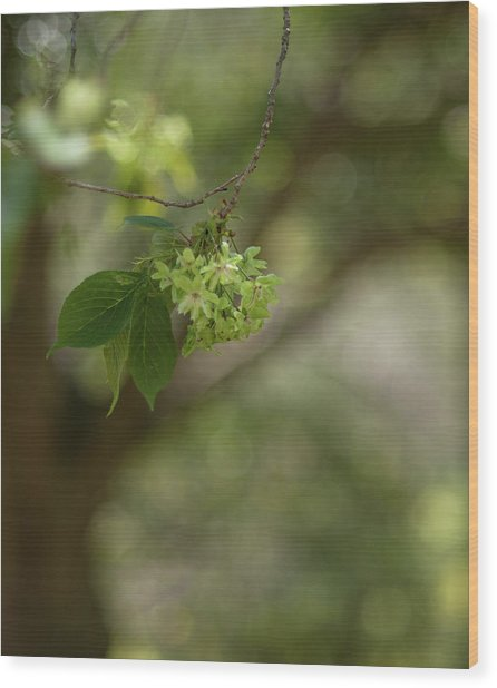 Green Cherry Blossoms With Blurred Wood Print