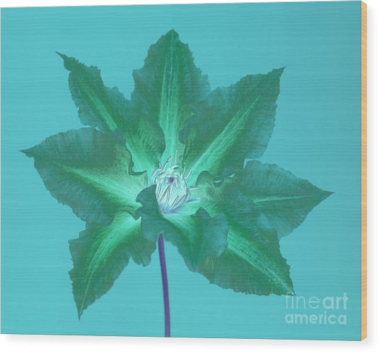 Green Clematis On Turquoise Wood Print by Rosemary Calvert