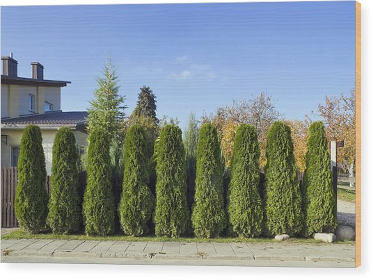 Green Fence Of Trees  Wood Print by Aleksandr Volkov