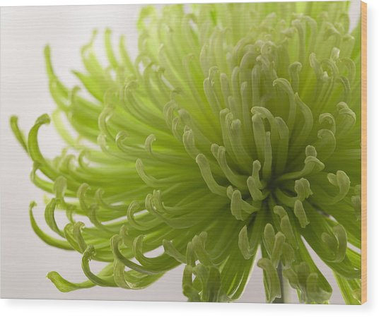 Green Fuji Mum Wood Print