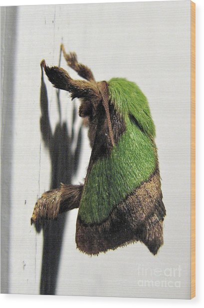 Green Hair Moth Wood Print