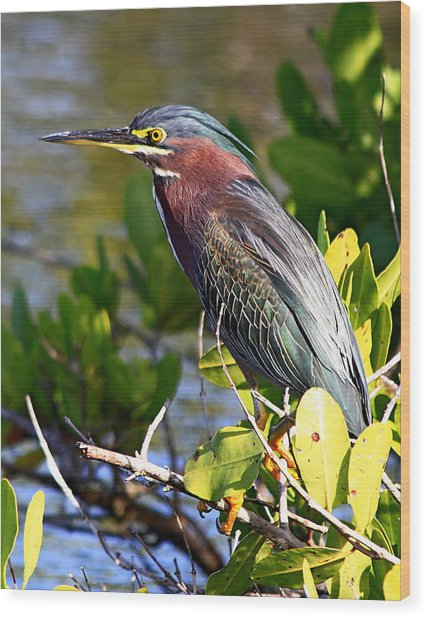 Green Heron At Minwr Wood Print