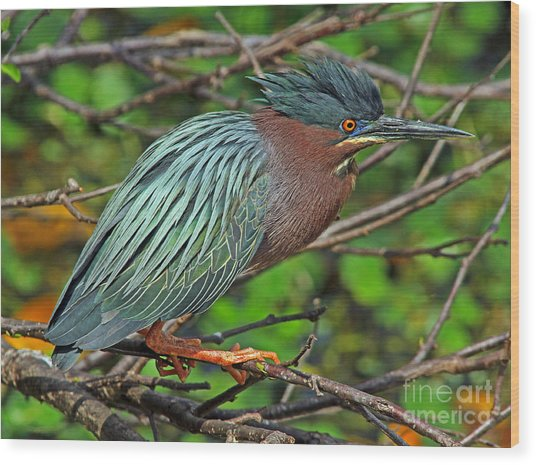 Green Heron Breeding Colors Wood Print