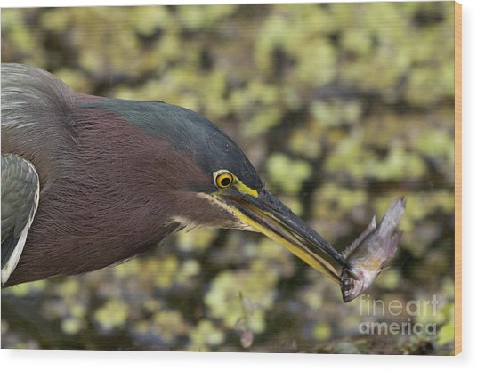 Green Heron Fishing Wood Print