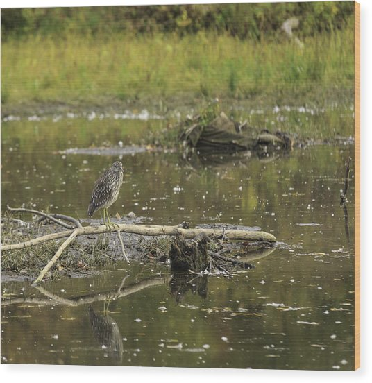 Juvenile Black Crowned Night Heron In A Marsh Wood Print