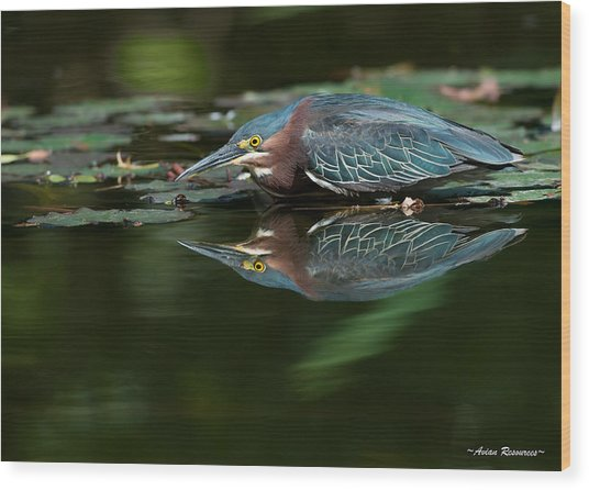 Green Heron Reflection 2 Wood Print