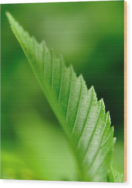 Green Leaf 002 Wood Print