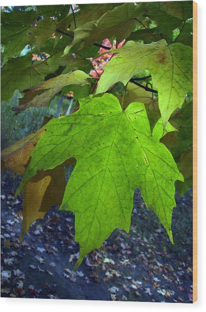 Green Maple Leaves Wood Print by Michel Mata