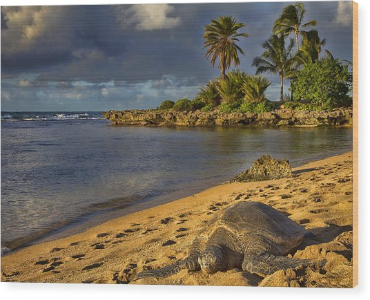 Green Sea Turtle At Sunset Wood Print