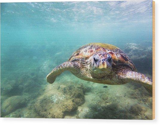 Green Sea Turtle Chelonia Mydas Wood Print by Danilovi