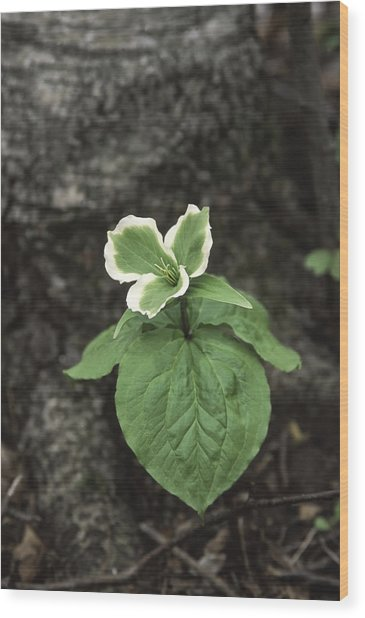 Green Trillium Wood Print by Gary Hall