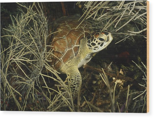 Green Turtle In Soft Corals Wood Print