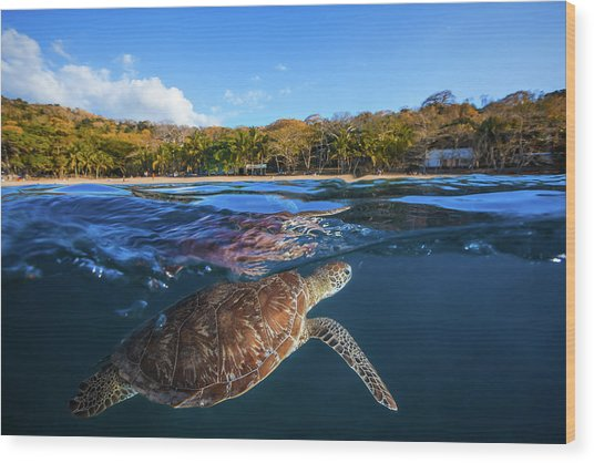 Green Turtle - Sea Turtle Wood Print