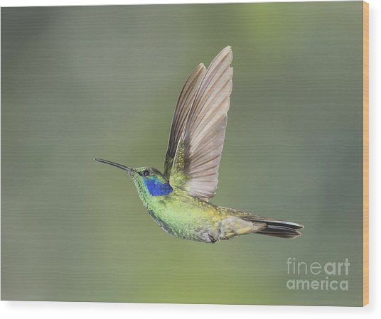 Green Violet-ear Hummingbird Wood Print