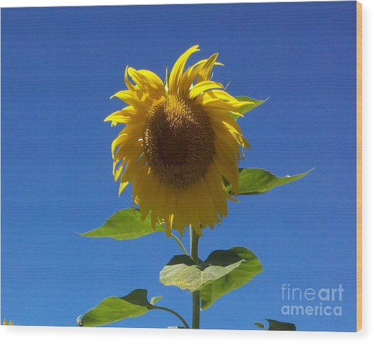 Sunflower With Open Arms Wood Print