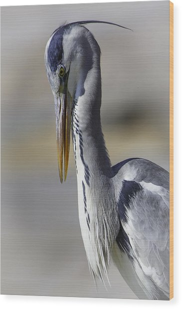 Grey Heron Profile With Soft Background Wood Print by Wild Artistic