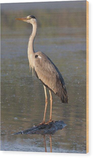 Grey Heron Wood Print by Zoltan Kovacs