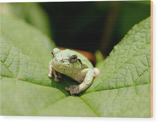Grey Tree Frog Wood Print