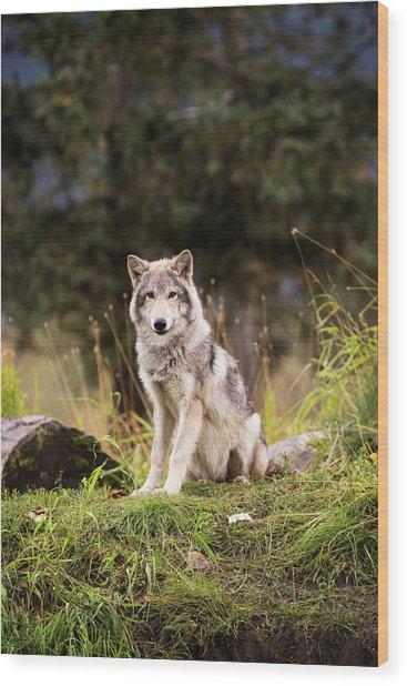 Grey Wolf  Canis Lupus  Pup Roams It S Wood Print