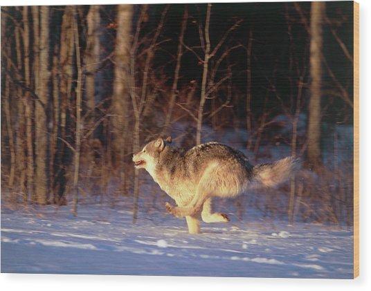Grey Wolf Running Wood Print