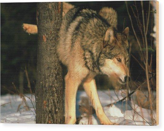 Grey Wolf Urinating Wood Print