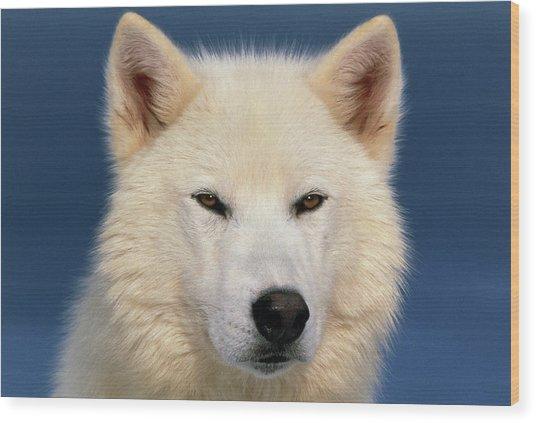 Grey Wolf White-form Wood Print