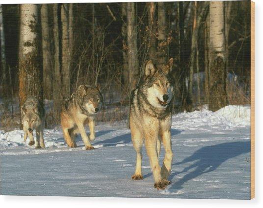 Grey Wolves In Snow Wood Print