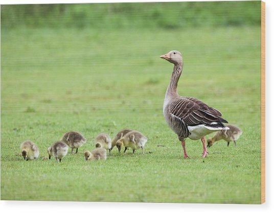 Greylag Goose And Goslings Wood Print