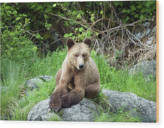 Grizzly Bear Wood Print by Dr P. Marazzi/science Photo Library