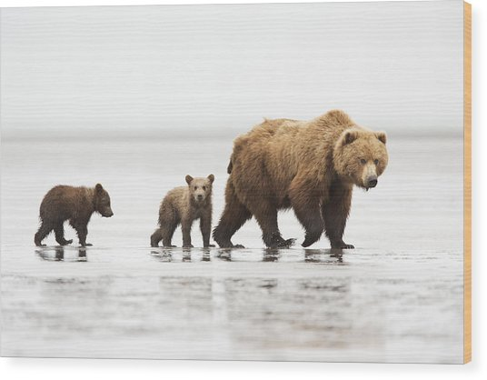 Grizzly Bear Mother And Cubs Lake Clark Wood Print