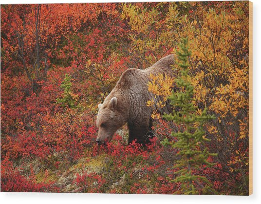 Grizzly Bear Wood Print by Piriya Photography