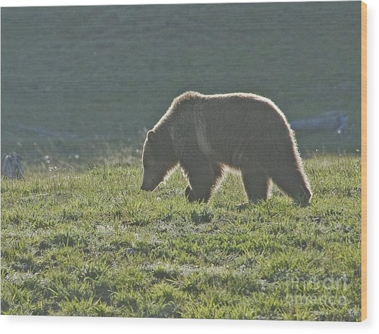 Grizzly Bear With Aura Wood Print by Bob Dowling