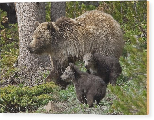Grizzly Bear With Cubs Wood Print