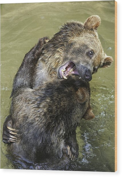 Grizzly Cubs Roughhousing Wood Print