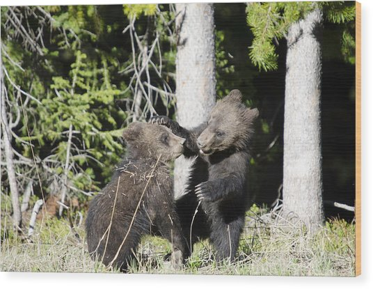 Grizzly Cubs Playing Wood Print