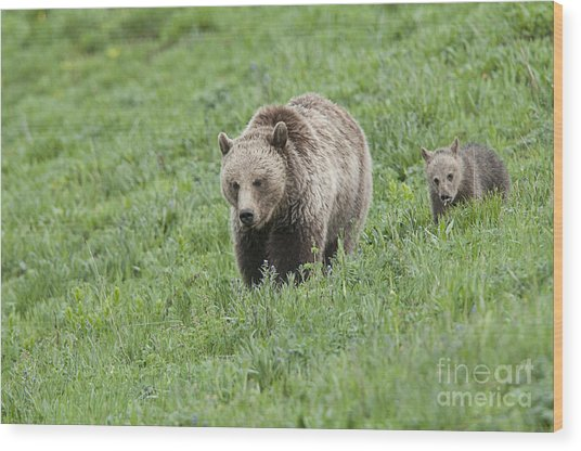 Grizzly Family On Dunraven Wood Print by Bob Dowling