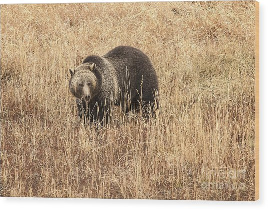 Grizzly In Autumn Meadow Wood Print by Bob Dowling