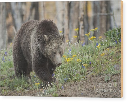 Grizzly In Spring Flowers Wood Print by Bob Dowling