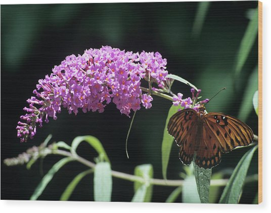 Gulf Fritillary Butterfly Wood Print by Sally Mccrae Kuyper/science Photo Library