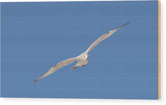 Gull In Flight - 2 Wood Print
