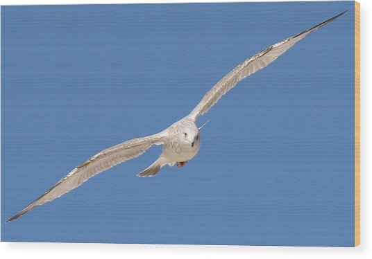 Gull In Flight  Wood Print