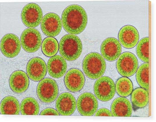 Haematococcus Algae Wood Print by Marek Mis
