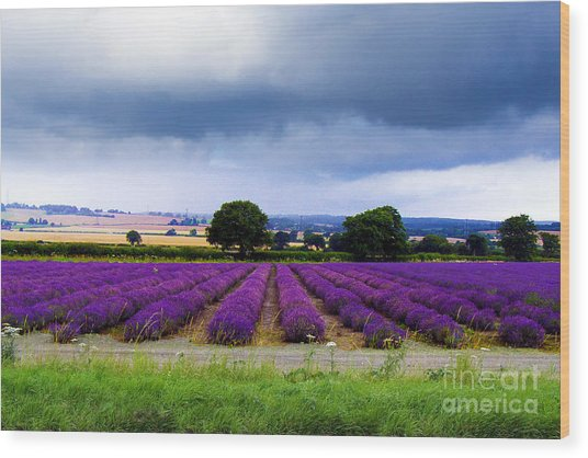Hampshire Lavender Field Wood Print