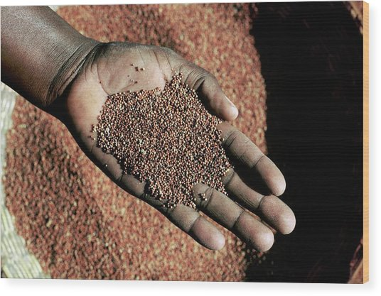 Handful Of Grain Wood Print by Mauro Fermariello/science Photo Library