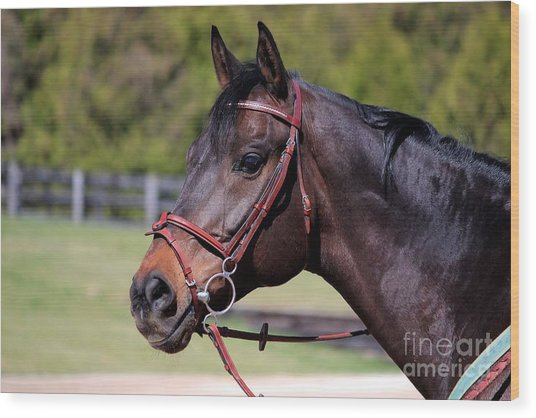 Handsome Gelding Wood Print