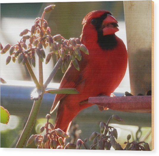 Handsome Red Male Cardinal Visiting Wood Print
