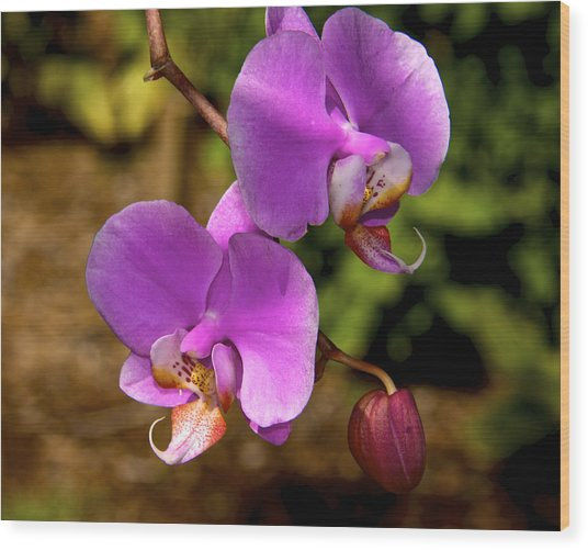 Hanging Orchids Wood Print by Kathi Isserman